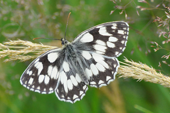 Marbled-white