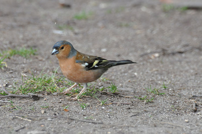 Female-chaffinch