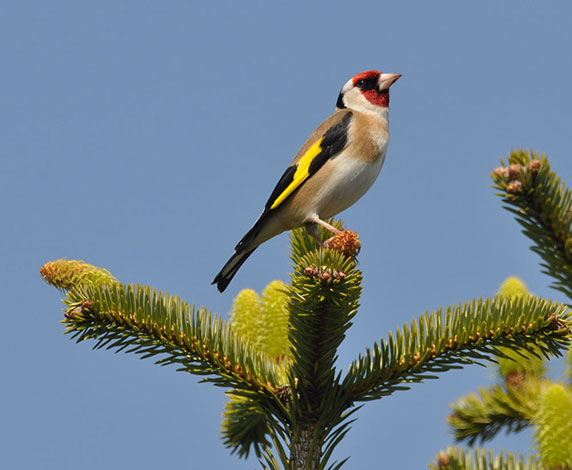 Male-goldfinch-on-noble-fir