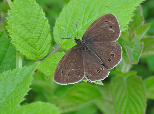 Meadow-brown-butterfly