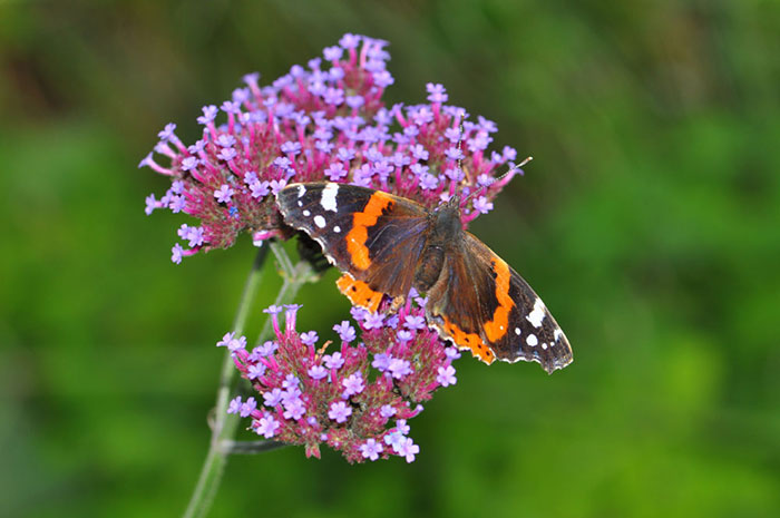 Red-admiral-on-verbena-bonariense