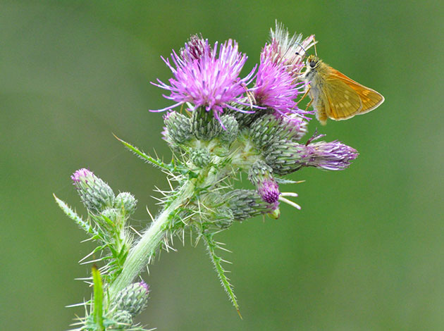 Skipper-butterfly-and-thistle