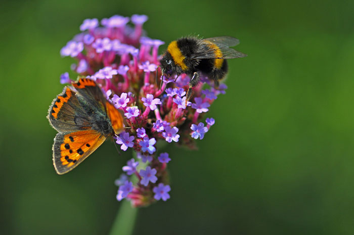 Small-tortoiseshell-and-verbena